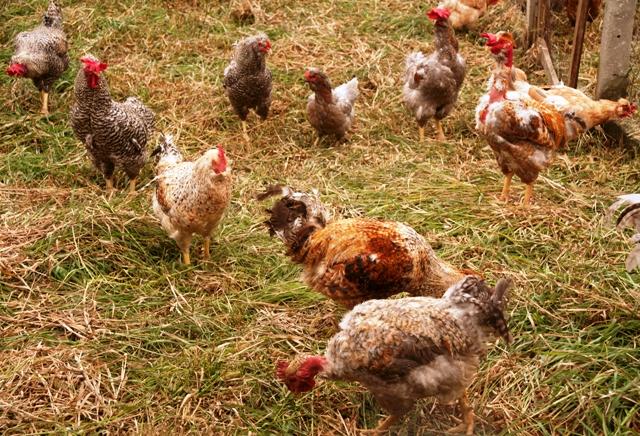 Resultado de imagem para galinhas ciscando